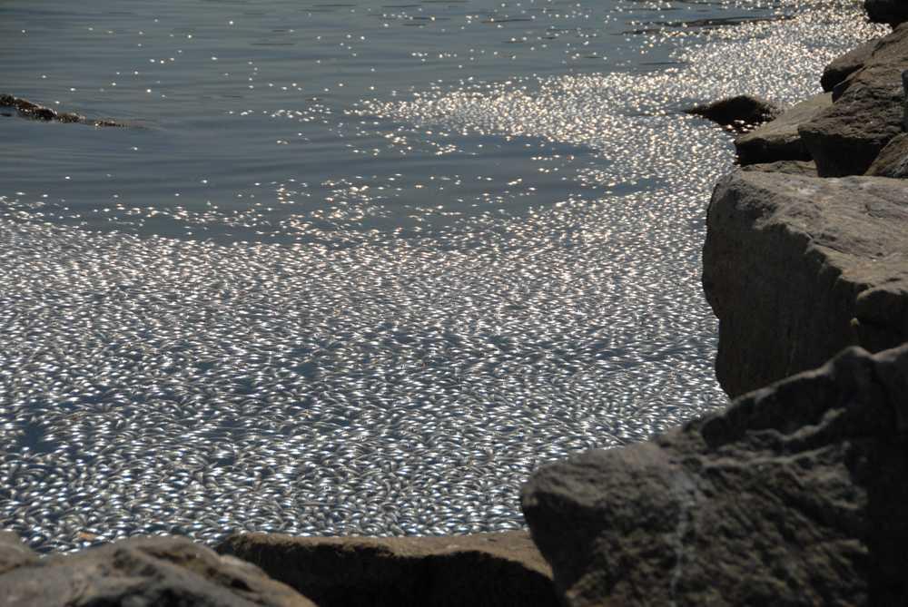 Sardines die-off in the King Harbor in Redondo Beach