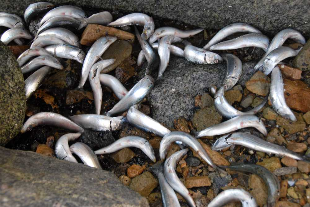 Sardines die-off in the King Harbor in Redondo Beach