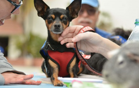 Paws 4 Healing had a booth at the Mental Heath Fair today with therapy animals. P4H brought dogs, guinea pigs and parrots which serve as therapy animals that work with people. Photo credit: John Fordiani