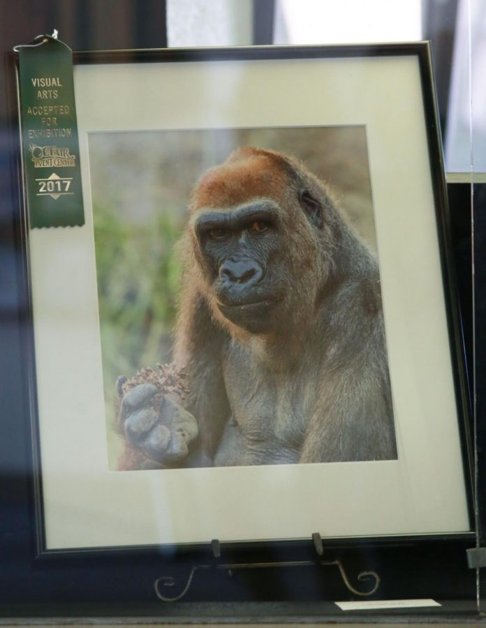 Award winning image from the 2017 LA Zoo Photo Day and Orange County Fair of a gorilla holding a pine-cone. This photograph by Linda Detwiler-Burner is on display in the lobby of the El Camino College Schauerman Library on Wednesday, Oct. 3. Photo credit: Mari Inagaki