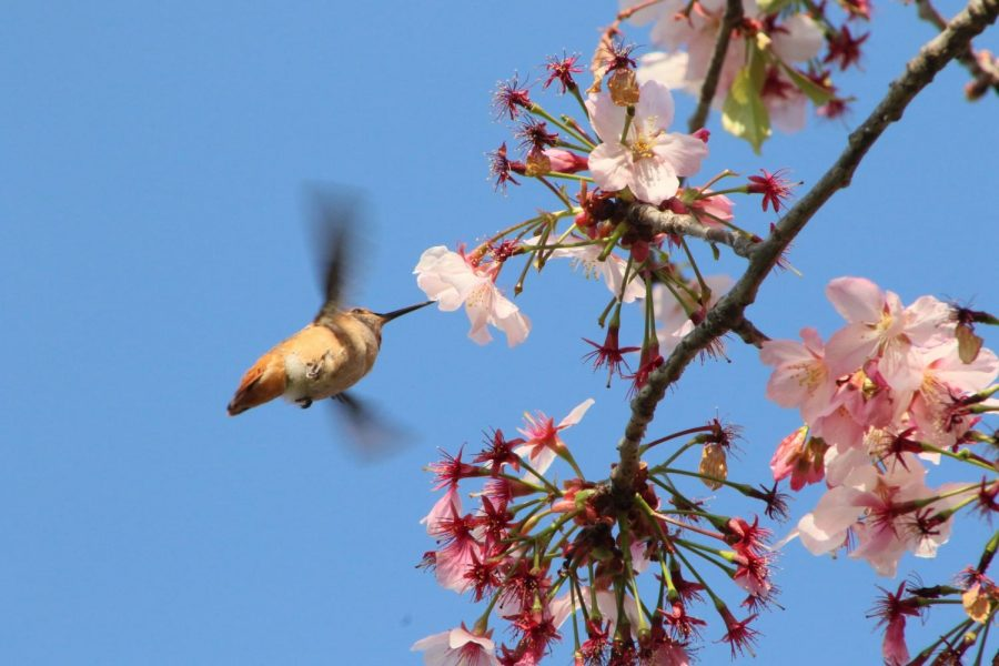 A humming bird approaches a cherry blossom tree that is blooming next to the Communications Building at El Camino College, March 24. Photo credit: Rosemary Montalvo
