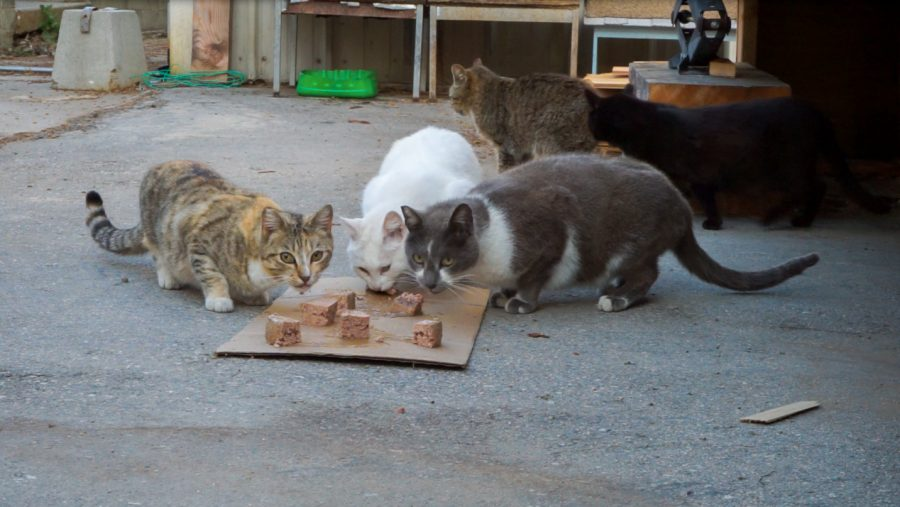 A clowder of cats have their first meal of the day on May 25. Turano said many people dump their cats on campus. Photo credit: Jun Ueda