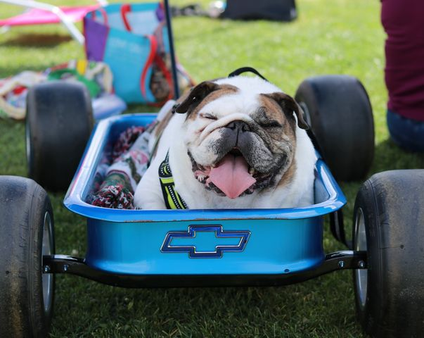 Buddy the bulldog sitting in a Chevy wagon beyond the outfield fence of the El Camino softball field at the first 'Bark in the Park' on Saturday, March 23, 2019. ECC softball program to host second dog rescue event on Saturday, March 21. Anna Podshivalova/The Union