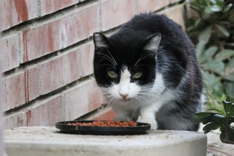A black and white cat eats wet cat food next to a feeding station near Schauerman Library on Saturday, Feb. 22. Carl Turano, warehouse stock clerk, advocates for and takes care of the campus cat population. Omar Rashad/The Union