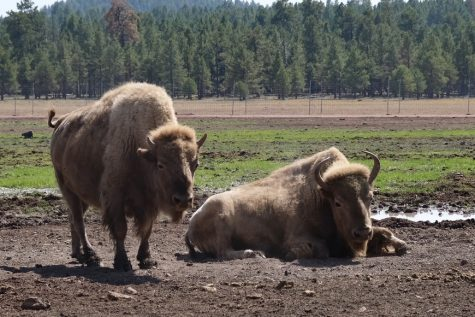 Two Buffalos relax in a barren field during a bright day in Arizona on Sunday, Sept. 20, 2020. Buffalo such as these frequent plains and are heavily protected by state officials as they continue to be threatened. Photo by Ivan Zermeno/The Union.
